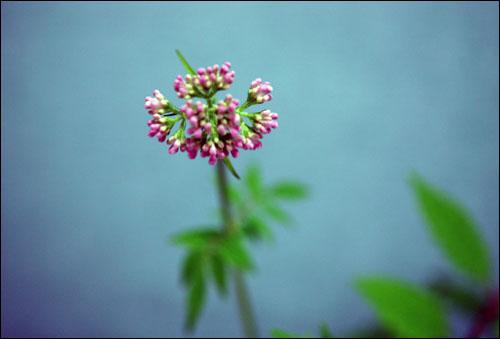 쥐오줌풀꽃 뿌리에서 쥐 오줌 냄새가 난다고 붙여진 이름인데, 썩 좋아 보이지 않는 이름과는 달리 예쁘기만 하다. 5~8월경 줄기 끝에서 무리지어 피는 이 꽃은 지금 당장 분홍빛 꽃을 터뜨릴 태세다.