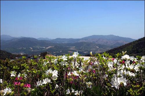 철쭉 붉고 하얀 철쭉 꽃 뒤로 멀리 좌측으로 철쭉 군락지인 황매산이 보인다.