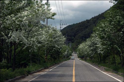 이팝나무 길 길게 쭉 뻗은 시원스런 이팝나무 가로수 꽃 길.