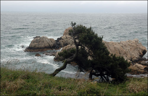 노부부송 대왕암공원 홍보책자에는 이름이 붙여지지 않은 늙은 소나무 두 그루. 나그네가 노부부송이라 이름 지어 주었다.