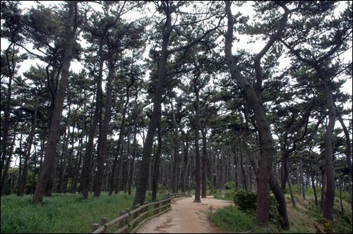 소나무숲 대왕암공원에는 1만 5천여 그루의 소나무가 하늘을 덮고 빽빽히 서 있다. 오솔길을 걷는 기분이 참으로 행복하다.