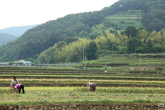 남해의 특산품인 마늘 수확 현장
