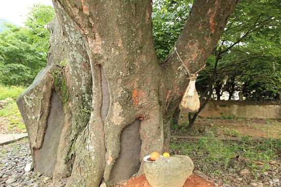 당산나무에 소뼈가 걸려있는데, 이는 도서지방의 갯제에서 볼 수 있는 헌식 형식이 이곳 당제와 결부된 것으로 여겨진다.