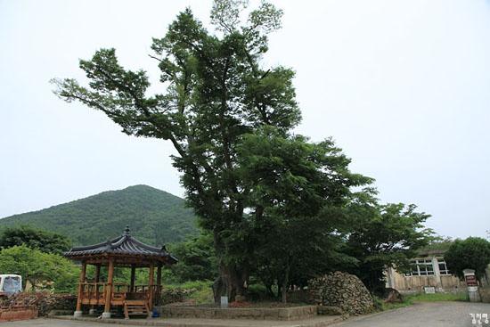 내산마을 당산나무. 수령 200년 정도 된 느티나무이다.