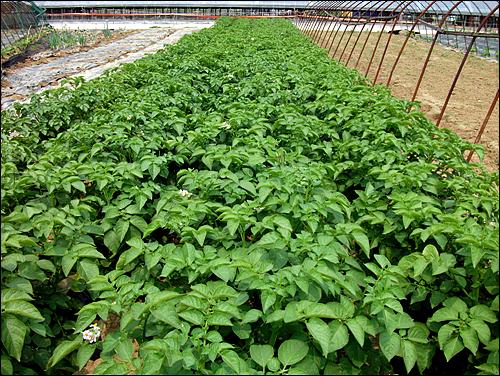 감자꽃을 따준 감자밭