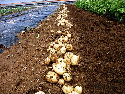 하지만 작년에 비해 감자 밑은 만족스럽지 못했다.