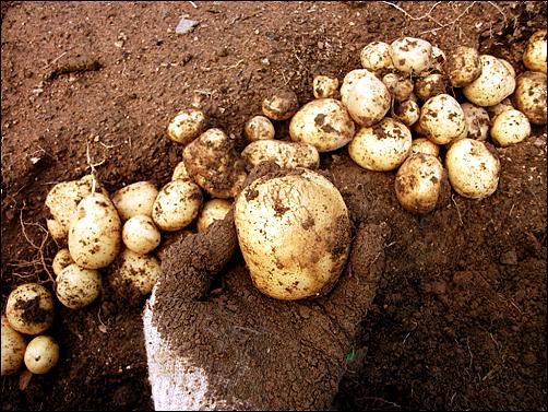 그나마 장맛비가 더 내리기 전에 감자를 다 캐내 집으로 가져왔다.