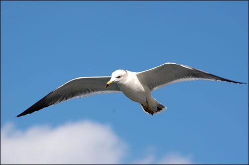 갈매기 갈매기 한 마리가 병대도 위를 날며 섬과 친구하고 있다.