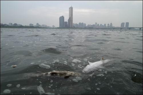 썩은 물고기 시체로 가득한 한강이 4대강 사업의 모델이라니. 이명박 대통령이 4대강 사업의 모델로 제시한 63빌딩 앞 한강. 그러나 이곳은 물고기 시체가 가득하고 썩는 악취가 진동합니다. 4대강의 미래를 명확히 보여주는 것이지요. 참으로 걱정입니다.