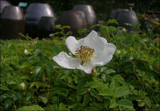완도수목원에는 난대림 외에도 갖가지 야생화를 볼 수 있다. 돌가시나무꽃과 어우러진 수목원 풍경이다.