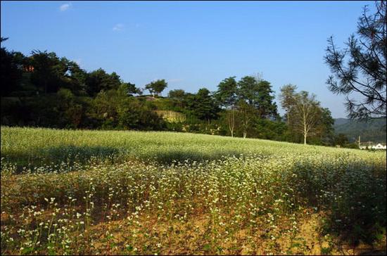 봉평 이효석 문학관으로 오르는 언덕길 옆의 메밀밭. 메밀은 서늘한 산간지방에서 잘 자라는 구황작물이다.