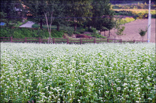 메밀밭. 이효석 당대의 메밀밭과는 달리 이 메밀밭들은 주로 경관을 위해 재배되는 것이다.