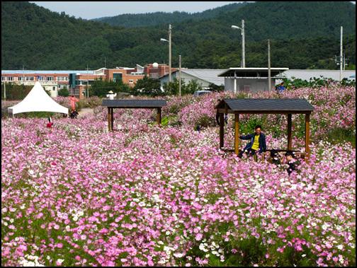 코스모스 꽃속에 파묻힌 아저씨 코스모스가 저마다 서로 다른 빛깔로 울긋불긋하네요. 저 너른 꽃밭 속 정자에 한 아저씨가 꽃에 파묻힌 듯 앉아 있습니다.