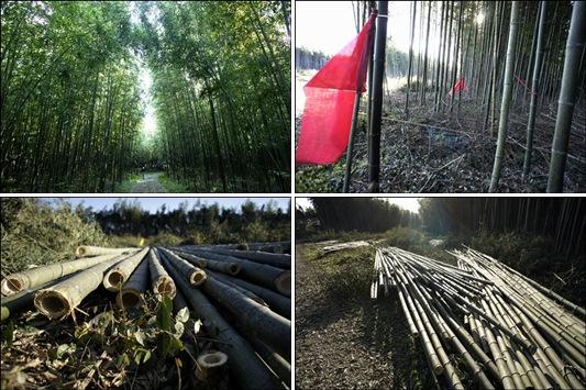 대나무숲을 조성한다며 파괴한 대나무 숲 현장입니다.  이명박 대통령의 거짓말은 어디까지 일까요?