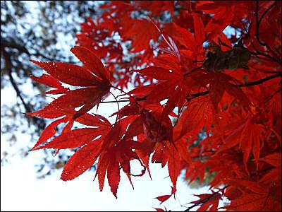 색이 곱게 물든 가을단풍 올 설악산 가을 단풍이 그리 곱지 않았다고 한다. 기후와 일조량이 가장 큰 영향을 주었다고 한다.