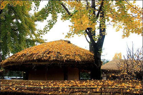 가을 월매의 집에도 노랗게 가을이 내려앉았다