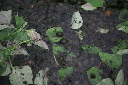 겨우내 왕우렁이를 키워 이듬해 논농사에 활용한다.