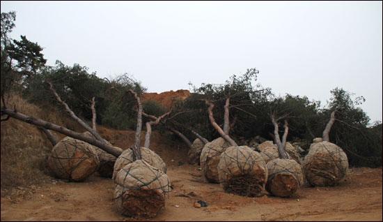 부여군이 확인한 결과 현제 남아 있는 소나무가 100구루 정도로 확인이 되고 있다.
