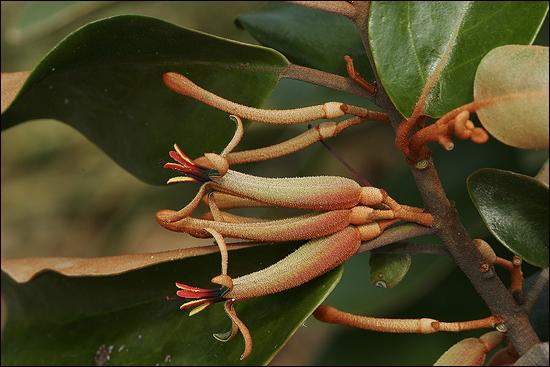 특이하게 생긴 참나무겨우살이의 꽃.일반적으로 참나무에 기생한 겨우살이를 '참나무겨우살이'라고 잘못 부르는 경우가 종종 있는데 실제로 참나무겨우살이가 따로 있다고 한다.