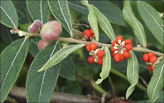 조도만두나무는 전남 조도에서 최초로 발견되어 1994년에 학계에 보고된 한반도 고유종으로 조도에서 이 나무를 찾기 힘든 희귀종이다. 열매가 만두모양이라 이런 이름이 붙었다고.