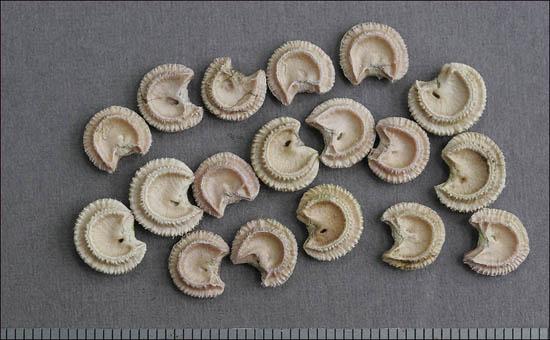 생김새가 특이한 새모래덩굴 핵.