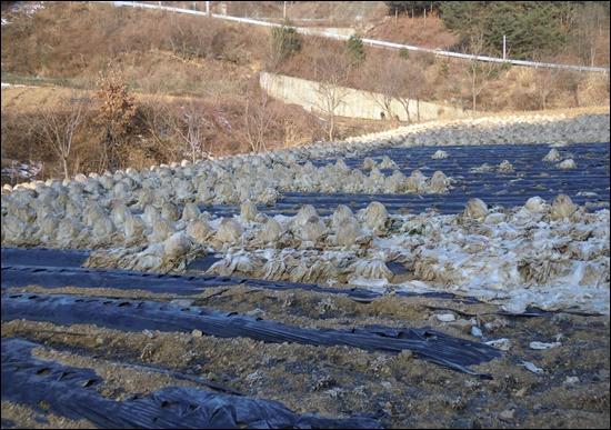 얼버붙은 배추밭