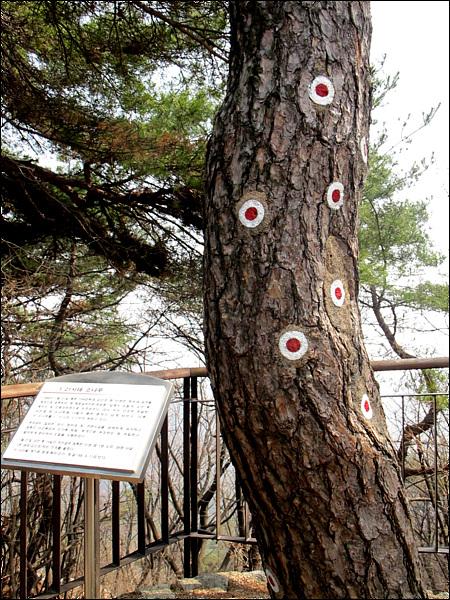 """1.21사태 소나무 1968년 1월 21일 북한 124군 부대 김신조등 31명은 청와대 습격을 목적으로 침투하여 현 청운실버타운(청운동) 앞에서 경찰과 치열한 교전중 현 소나무에 15발의 총탄 흔적이 남게 되어 이 소나무를 """"1.21 사태 소나무""""라 부르고 있다."""