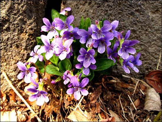 """우리들 초등학교 시절엔 이 꽃을 """"반지꽃""""이라 부르며 꽃을 줄기째 따 반지를 만들어 짝궁 손가락에 끼워주던 추억이 생생한데 요즘은 이꽃 이름을 오랑케꽃이라 부른다."""