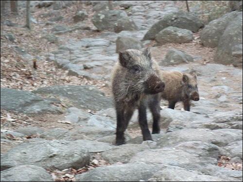 산책중에 다시 만난 멧돼지들. 녀석들은 꼬리를 흔들며 우리를 반겼다.