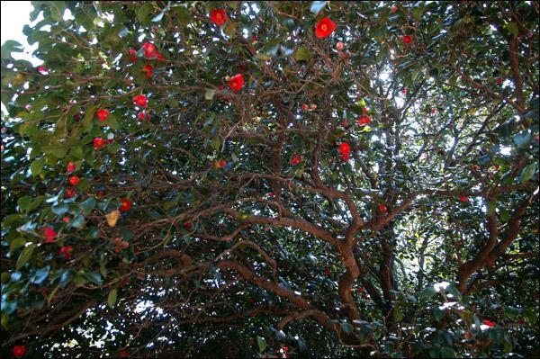 동백꽃 붉디붉은 동백꽃이 하늘에 주렁주렁 달려 있다.