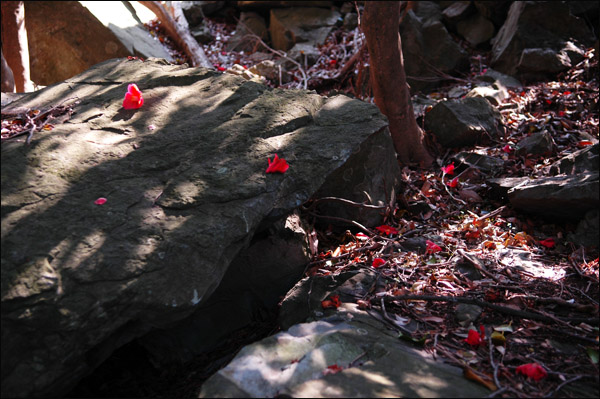 동백꽃 선혈같은 붉디붉은 떨어진 동백이 애처롭기 그지없다.