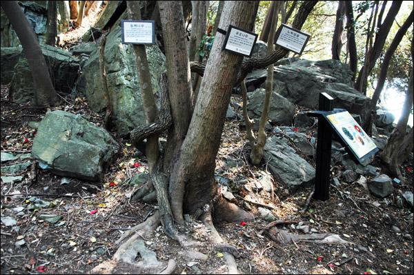 어울림나무 동백나무, 푸조나무 그리고 노박덩굴이 얽혀 한 나무로 자라고 있는 '어울림나무'. 어울림나무는 서로 다른 나무들이 오랫동안 뿌리가 엉키면서 자라는 나무를 말한다.