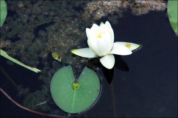 수련 보현암 작은 연못에 핀 수련. 백옥같은 하얀 속살을 부끄러운 기색도 없이 여행자에게 내 보여 주고 있다.