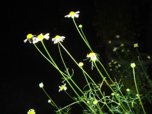 카모밀 꽃