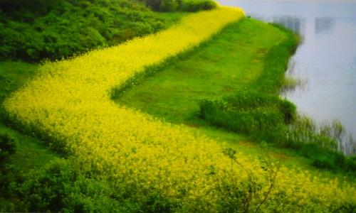노란 유채꽃 융단을 깔아 놓고 그분(예수님)이 오시기를 하루 종일 기다렸다는 <오시는 길>
