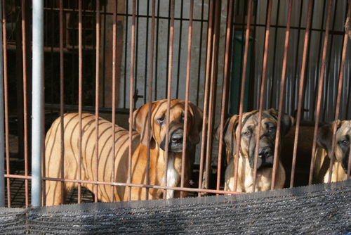개고기 상인들이 식용으로 가장 선호하는 종은 도사견 혹은 도사견 혼종이다. 근수가 많이 나가나 원래 투견을 위해 들여온 종으로 공격성을 드러내 이를 제압하기 위한 학대가 일어나기도 한다.
