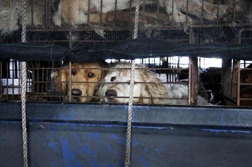 제보자에 의하면 폭염에 개들은 거의 탈진상태였다고 한다. 이 상태로 개들은 배를 타고 육지로, 그리고 성남까지 운송되었다. 개들이 서로 싸우는 것을 방지하기 위한 운송방법이나 지극히 비인도적이다.