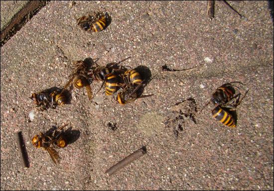 살충제를 맞고 떨어진 말벌들. 5시간 가량이 지났을 때까지 일부 말벌은 활발하게 기어다니기도 했다. 들리는 말에 그냥 두면 살아나 날아가기도 한단다.