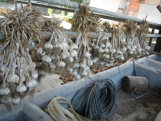 지난 봄 거둔 마늘입니다. 양념도 할 것이고, 가을에는 다시 씨앗이 되어 흙속으로 들어갈 것입니다.