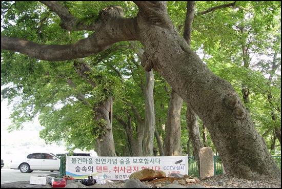 이팝나무를 당산목으로 정해 제사를 올렸는데 그 나무가 죽자 옆에 있는 팽나무가 당산목으로 정해졌습니다.