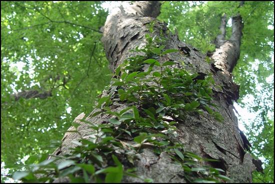 높이 솟은 나무에 덩굴식물이 더부살이를 합니다. 서로 힘을 모으면 풍요로운 삶이 됩니다.