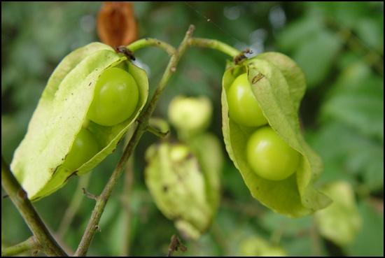 모감주나무 열매입니다. 열매로 '염주'를 만듭니다.