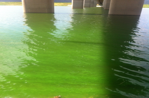 낙동대교 부근에 녹조 알갱이들이 물 위에 떠 있는 모습