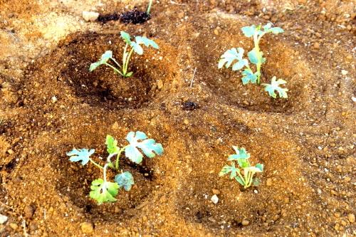 지난 봄 텃밭에 수박모종 4그루를 심었다(5월 13일)