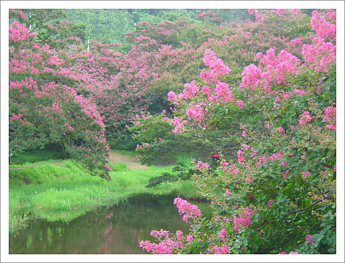 배롱나무 꽃송이 꽃송이가 번갈아 가며 꽃이 피고 지고하여 붉은 기를 백일동안 유지한다