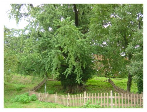 후산마을 은행나무 마을이 변하고 있어 은행나무 보러가는 길이 그다지 마음이 편하지 않다
