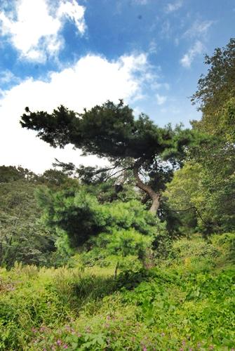 소나무 창성사지 안에 서 있는 소나무