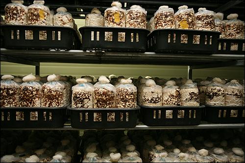 """표고버섯 재배에 이용하는 """"배지"""" 기존 원목 방식에서 전환된 배지 방식"""