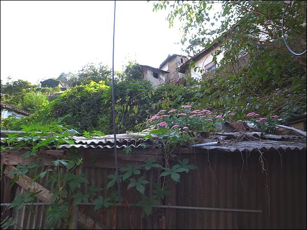개미마을 사람이 떠나난 집 지붕에 피어난 가을꽃, 자주꿩의비름. 그 꽃처럼 이들의 삶 피어나면 좋겠다.