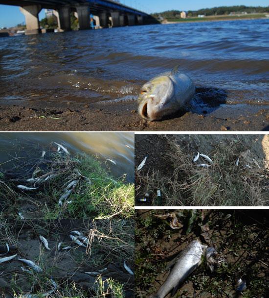 죽은 물고기가 22일 내린 비의 영향으로 강변 풀숲으로 파고들었다. 이 때문에 물고기 수거팀은 작업에 어려움을 겪고 있다고 한다.